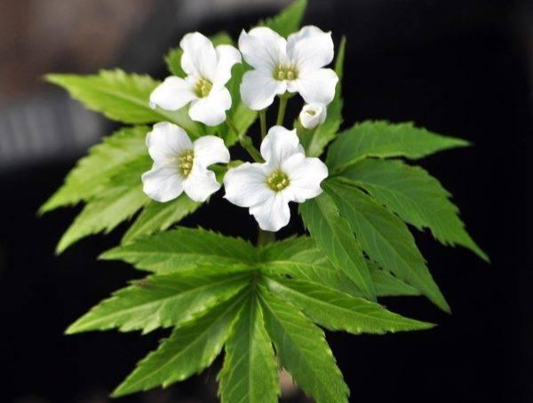 Cardamine-heptaphyllum-x
